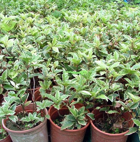 红毛丹沄水一号,缅茄木,蓝花楹,红喜榴连蜜,食用蒲瓜树,大果龙贡,荔枝