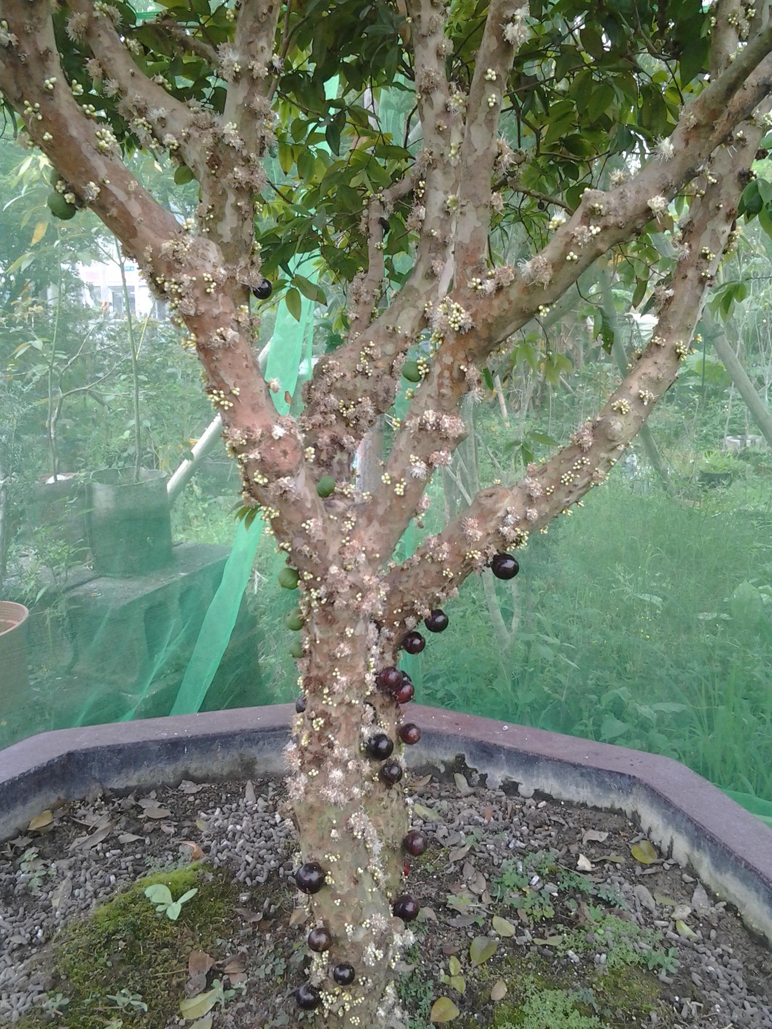 果树~~泰国青柠,红心绵酪梨,九五酪梨,威利辣椒,澳洲茶树,拐枣,金钱果